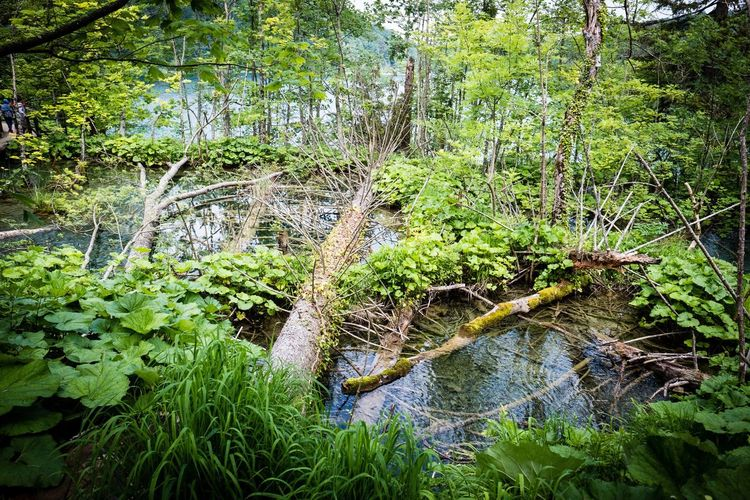 Plitvice lake Plitvice National Park Plant Growth Green Color Nature Day No People Beauty In Nature Tree Water Outdoors