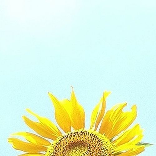 Close-up of sunflower over white background