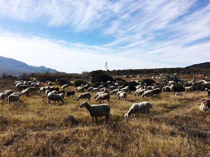The Gang 💟 Sky Mammal Animal Themes Domestic Animal Domestic Animals Pets Group Of Animals No People Flock Of Sheep Sheep Livestock Landscape Nature