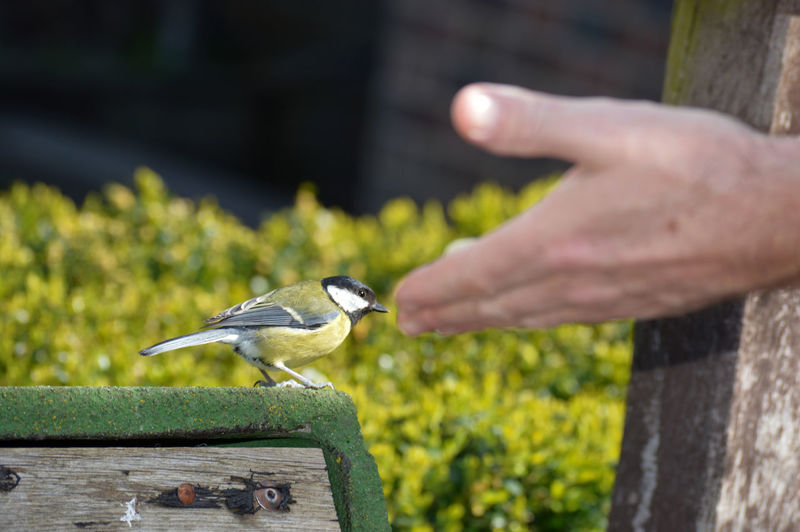 Cropped image of hand holding bird perching on wood