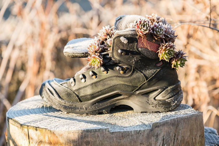 Close-up of frosted succulent plants in abandoned shoe on tree stump