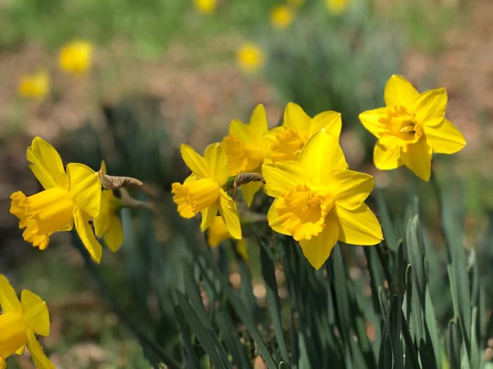 Daffodils 🌼 Springtime Daffodil Flower Yellow Insect Animals In The Wild Petal Animal Themes Nature Fragility One Animal Outdoors Growth Bee Focus On Foreground Flower Head Animal Wildlife Day Beauty In Nature Plant Freshness No People