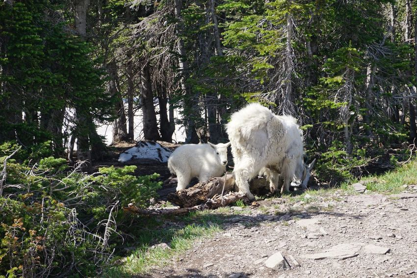Animal Baby Goat Beauty In Nature Day Glacier National Park Herbivorous Mammal Montana Mountain Goats Nature No People Outdoors Tree