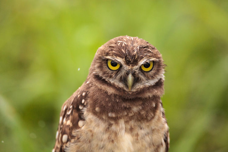 Burrowing owl perching on field