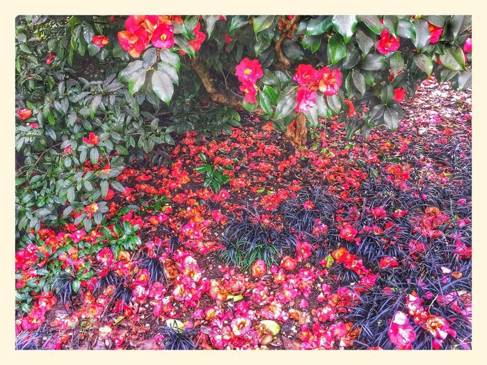 Vancouver BC Camellia Spring Flowers Iphone 6 Plus