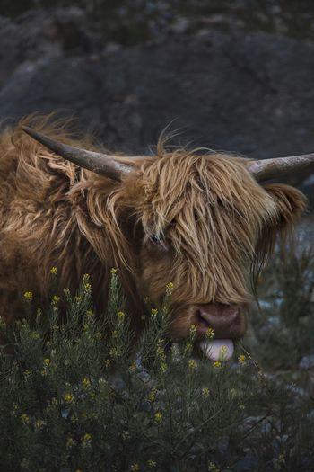 Fluffy cow in a field