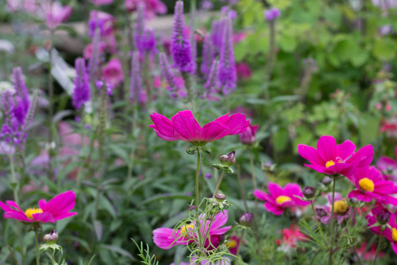 Beauty In Nature Blooming Cerise  Day Flower Flower Head Focus On Foreground Fragility Freshness Green Color Growth In The Garden Nature No People Outdoors Petal Plant Purple