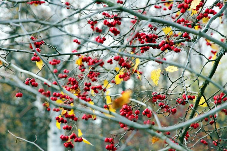 Low Angle View Of Berries On Tree During Autumn