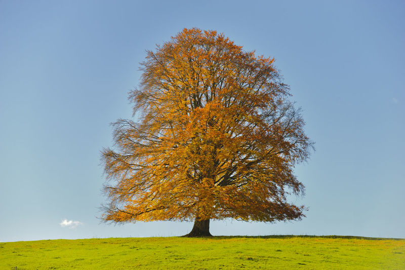 Tree on field against clear sky during autumn
