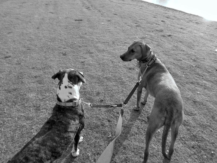 Double Animal Themes Best Friends Blackandwhite Bonding Canine Day Dog Domestic Animals Double Friends Lab Leash Leash And Collar Love Mammal Nature No People One Animal Outdoors Pets Pitbull Portrait Puppy Ridgeback Walk Lieblingsteil