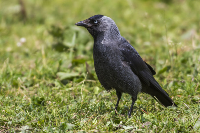 A jackdaw is saerching for fodder Birds Of EyeEm  Grass Green Jackdaws Nature Animal Themes Animals In The Wild Bird Birds In Flieght Corvus Monedula Craws Day Fodder Jackdaw Landscape Meadow Nature No People Outdoors Outdoors Photograpghy