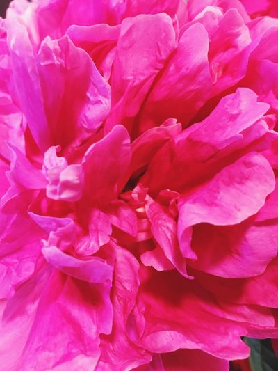 Flower Petal Pink Color Backgrounds Full Frame Nature Beauty In Nature No People Flower Head Fragility Freshness Peony  Plant Close-up Day Outdoors Blooming Peony Flower Flowers Flower Collection Pink Flower Pink Pfingstrosen Blumen пион