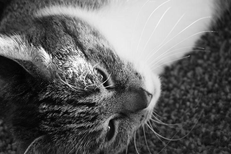 Pets Portrait Domestic Cat Feline Whisker Close-up Animal Nose Animal Face Animal Head  Nose Ear Animal Hair Cat Animal Ear