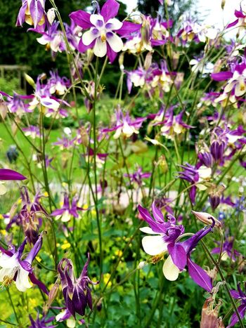 Aquilegia Flower Head Flower Purple Leaf Pink Color Close-up Plant In Bloom Purple Color Botany Lilac Blooming Plant Life Petal