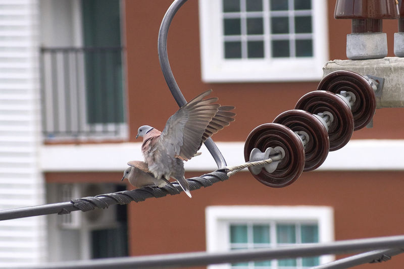 Doves mating on the cable Animal Themes Architecture Bird Building Exterior Built Structure Close-up Day Focus On Foreground Mate Nature No People Outdoors Spread Wings