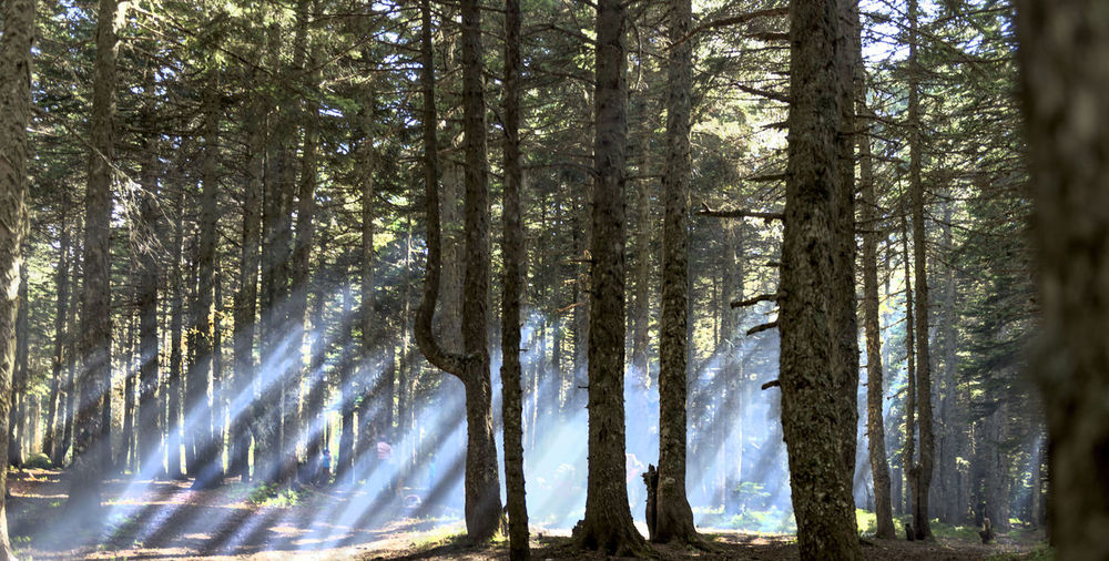 Bamboo - Plant Beauty In Nature Day Environment Fog Fogy Mountains Forest Growth Land Low Angle View Nature No People Non-urban Scene Outdoors Plant Scenics - Nature Streaming Sunlight Tranquil Scene Tranquility Tree Tree Trunk Treelined Trunk WoodLand