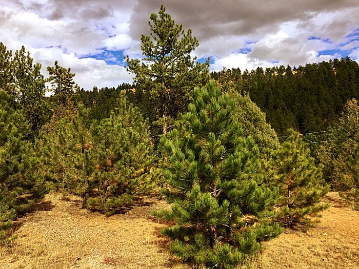 EyeEm Mountain Lover EyeEm Best Shots - Landscape Pine Trees Colorado Mountians Mountain Photography Colorado Photography EyeEm Best Shots - Nature EyeEm Nature Lover EyeEm Best Shots EyeEm Gallery EyeEmBestPics eyeemphoto EyeEmbestshots EyeEm Selects Eyeem Photography Eyeem Market Eyeemphotography EyeEm Gallery Coloradophotographer Tree Cloud - Sky Sky Beauty In Nature Nature Tranquility Landscape Tranquil Scene Scenics - Nature Outdoors Forest