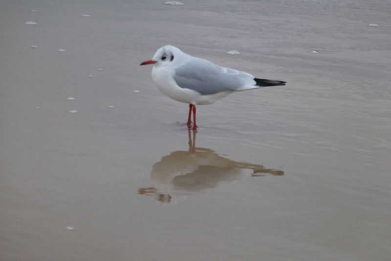 Baltic Sea Germany Beak Wet Sand Reflection Animal Themes Animal Wildlife Animals In The Wild Beach Bird Beauty In Nature Bird Bird Standing In Water Day Mirror Effect Nature No People One Animal Outdoors Reflection Seagull Water Waterbird Waterreflections