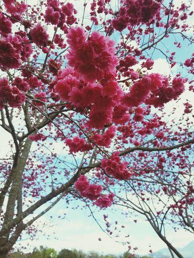 Sakura in winter.