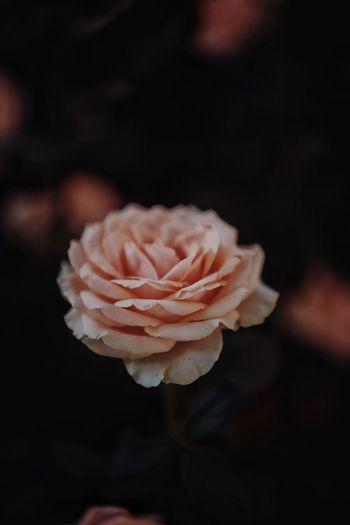 Close-up of rose roses against black background