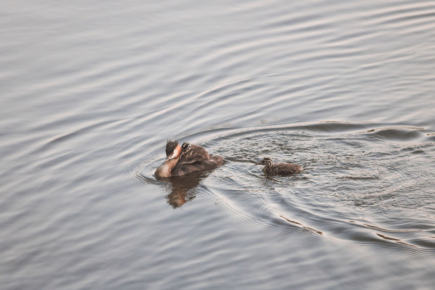 Mama duck with baby duck on her back and other baby duck swimming after her Animal Themes Animal Wildlife Animals In The Wild Day Duck Duckling Ducks Following High Angle View Mammal Mother Nature No People Outdoors Passenger Ripples Swimming Swimming Water Waterfront