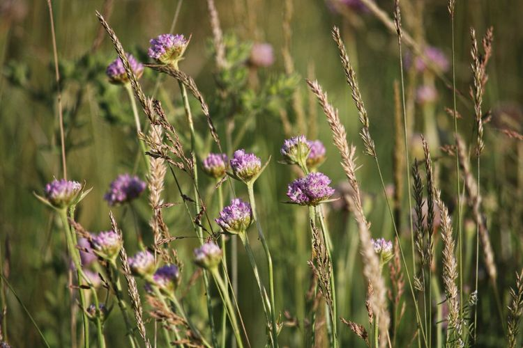 Focus On Foreground Selective Focus Flower Head Petal Land Close-up Field Nature Beauty In Nature Freshness Fragility Flower Plant Flowering Plant Vulnerability  Growth Purple Meadow Meadow Flowers Natural Beauty Flower Collection Flower Photography Scenics - Nature Walking Around Taking Pictures Grass Field Fieldscape Beautiful Lovely Beautiful Nature Naturelovers Flowers, Nature And Beauty EyeEm Nature Lover EyeEm Gallery Eye4photography