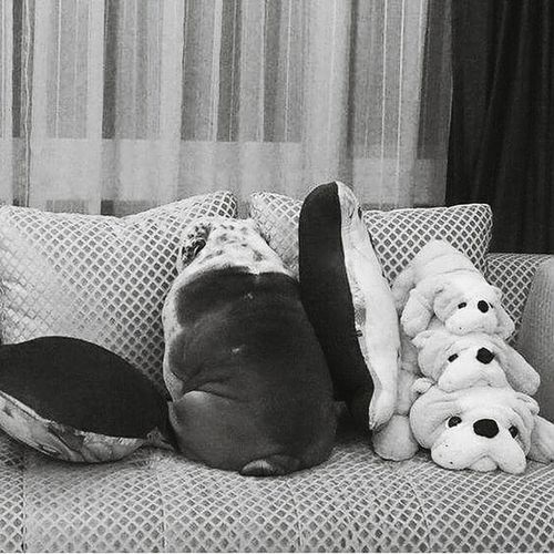 Monochrome Photography Indoors  Home Interior Resting Domestic Life Indoors  Home Interior Domestic Animals Dog Dog Life Shydog Shy Resting Domestic Life Bulldog Inglés
