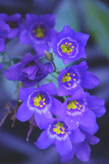 Violet Spring Flower Flowering Plant Plant Vulnerability  Petal Beauty In Nature Fragility Purple Close-up Freshness Inflorescence Growth Flower Head Nature No People Focus On Foreground Outdoors Day Blue Selective Focus Springtime Pollen Bunch Of Flowers Violet Flowers EyeEm Nature Lover