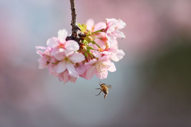 Close-up of bee flying by cherry blossoms
