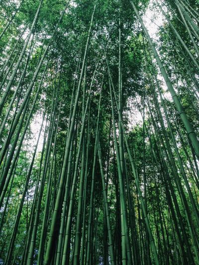 Bamboo forest, Japan Japan Serene Tranquil Peaceful Asian  Flora Grass Bamboo Grove Bamboo - Plant Nature Green Color Beauty In Nature Forest Growth Tranquility Day No People Abundance Full Frame Tranquil Scene Low Angle View Outdoors Plant Scenics