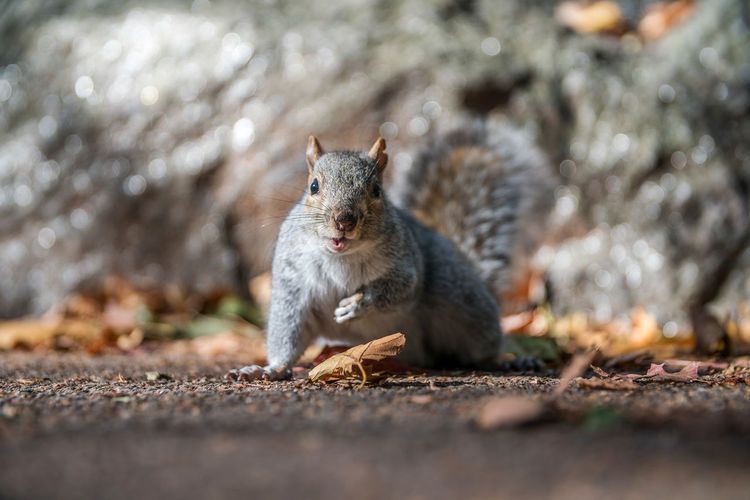 Autumn In New York City Central Park Squirrel Fall In New York City Manhattan New York New York City Squirrel In Central Park Animal Themes Animal Wildlife Animals In The Wild Close-up Day Mammal Nature No People One Animal Outdoors Portrait Squirrel Squirrel Closeup