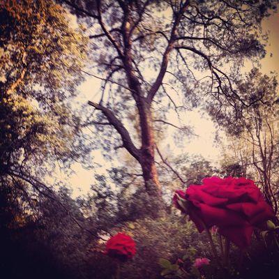 California Oroville Roses Rose - Flower Garden Garden Photography Tree