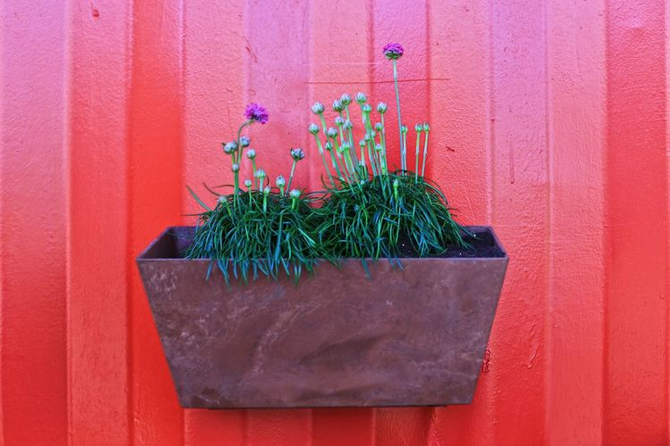 Close-up of potted plant against red wall