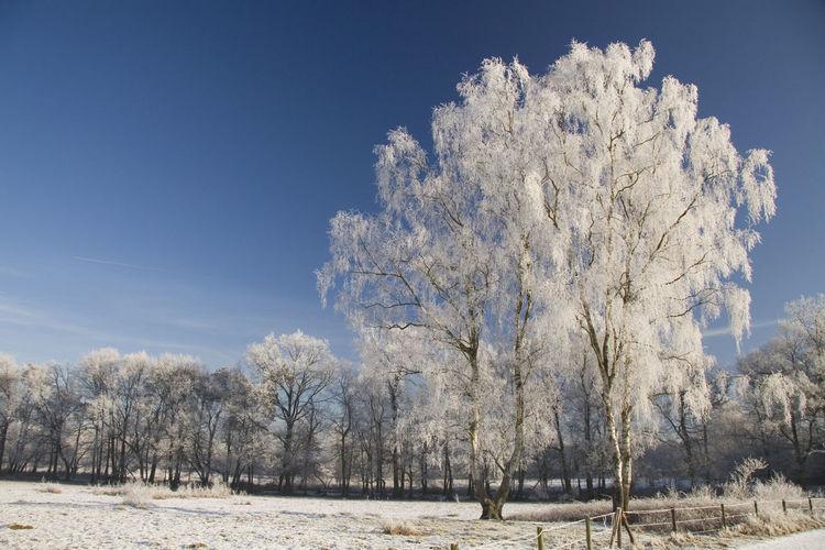 Snow tree Tree