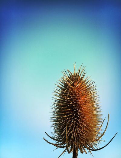 Close-up of thistle against clear blue sky