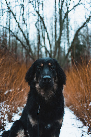 Dog looking at camera on snow covered land