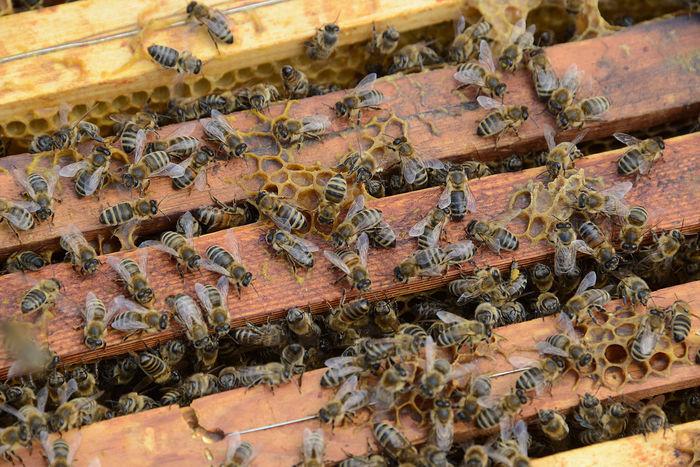 bees Bienen Bei Der Arbeit Bienen🐝 Frühjahr APIculture Bee Beehive Bees Photography Bienenwabe Close-up Day Honey Honey Bee Imker Nature Spring