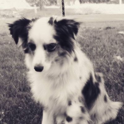Tanner is my best friend. He always plays with me, and cuddles with me when I'm cold. (He's a minni Aussie) Dog Aussie Puppy Mini Cute