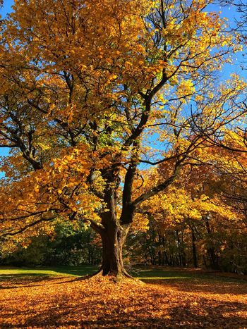 Fall time 02 Falling Leaves Tree Plant Beauty In Nature Nature Tranquility Growth Autumn No People Park Day Sunlight Outdoors Orange Color Scenics - Nature Tranquil Scene Idyllic