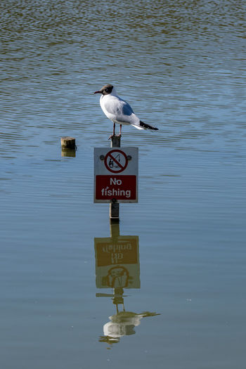 Black headed gull standing on a no fishing sign Black Headed Gulls No Fishing Animal Animal Themes Animal Wildlife Animals In The Wild Bird Black Headed Gull Communication Day Nature No Fish No Fishing Sign No People One Animal Outdoors Perching Road Sign Seagull Sign Text Vertebrate Water Waterfront Western Script