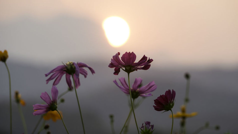 beauty of sweet cosmos flowers at the sunset Beauty Of Flowers Beauty Of Nature Blooming Close-up Colorful Flowers Cosmos Flower Day Flower Flower Head Focus On Foreground Fragility Freshness Growth Nature No People Outdoors Petal Plant Sky Sun Sunset Sunset Scene Sweet Flowers Sweet Sunset Tranquility