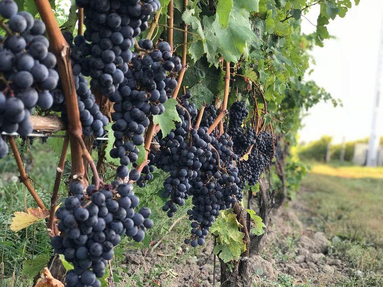 Vineyard Joy Malbec Merlot Pinot Noir Wine Happy Niagara Grape Vineyard Winemaking Growth Bunch Fruit Agriculture Food And Drink Vine - Plant Crop  Winery Plant Outdoors Day Nature Wine