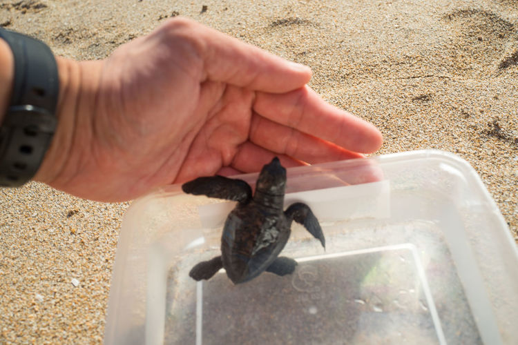 Releasing baby turtle on Kuta Beach. Bali Bali, Indonesia Animal Wildlife Animals In The Wild Body Part Day Finger Hand Holding Human Body Part Human Hand Lifestyles Marine Nature One Animal One Person Outdoors Real People Reptile Sand Sea Vertebrate