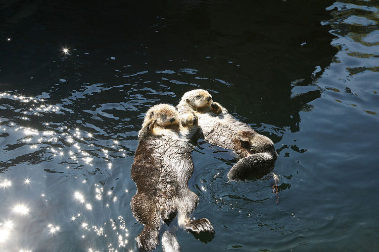 Animal Themes In_love Nature Otter Swimming Water