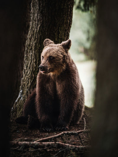 Mammal Animal Themes Animal Animal Wildlife Bear Animals In The Wild One Animal Tree Forest No People Nature Sitting Tree Trunk Land Trunk Vertebrate Looking Outdoors Brown Innocence Nature Winter Wildlife & Nature Brownbear Romania