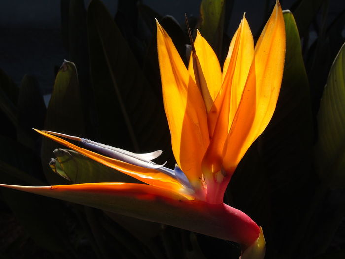 Beauty In Nature Bird Of Paradise - Plant Close-up Day Flower Flower Head Flowering Plant Fragility Freshness Growth Inflorescence Nature No People Orange Color Outdoors Petal Plant Vulnerability  Yellow