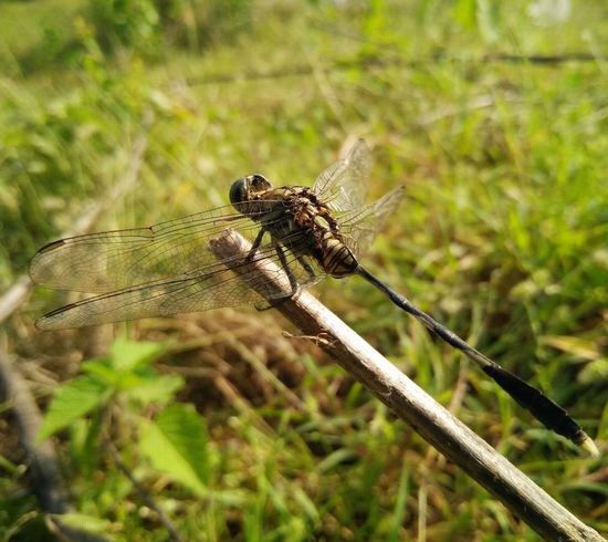 One Animal Animals In The Wild Insect Animal Themes Animal Wildlife Nature No People Day Focus On Foreground Close-up Outdoors Full Length Dragonfly Eyeem Collection Dragonfly💛