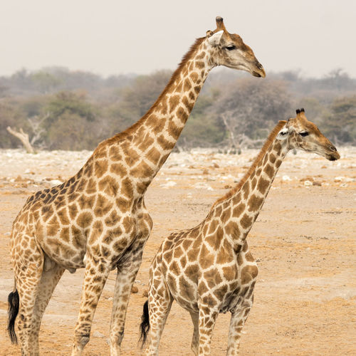 Couple of young and adult Giraffe in Namibia Adult Africa Animal Animal Photography Animal Portrait Animals Animals In The Wild Arid Landscape Beauty In Nature Check This Out Desert Free Freedom Giraffe Long Mammal Mammals Namibia Neck Portrait Tall Wild Wildlife Young