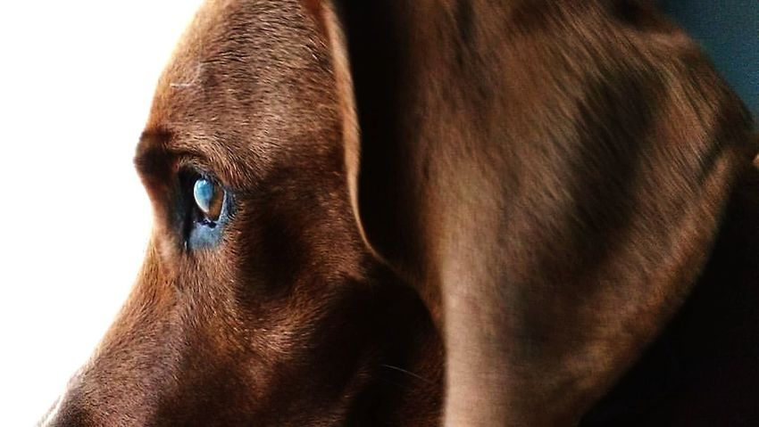Window Redbone Coonhound Eyelash Brown Eyeball Eye Animal Eye Close-up Animal Body Part Working Animal
