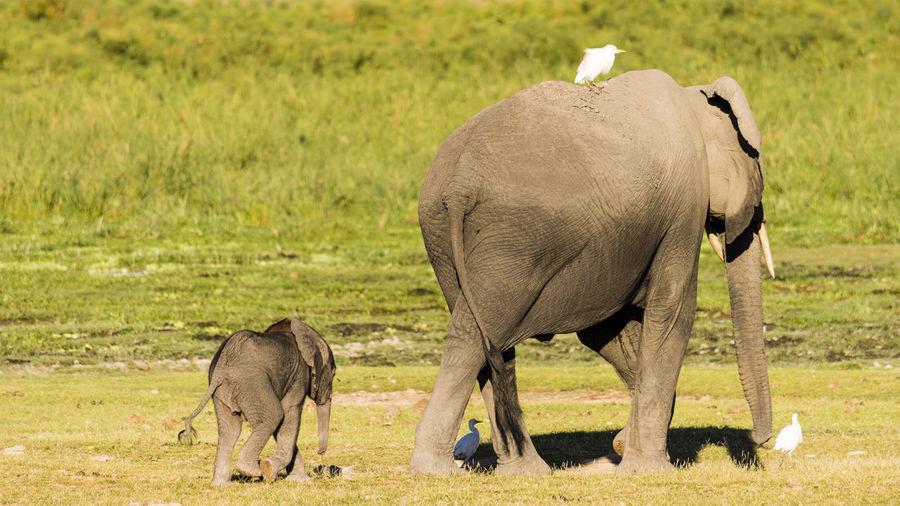 Africa African Elephant Amboseli Amboseli National Park Animal Wildlife Animals In The Wild Bird Elephant Elephant Calf Grazing Kenya Nature Outdoors Safari Safari Animals Young Animal